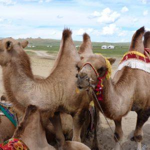 Kameel in Mongolie